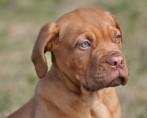 Câncer de mama em cadelas - Saiba como lidar com este tumor