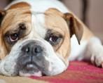 Luxação de patela em cães e gatos - Graus I, II, III e IV
