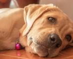 Ruptura de ligamento cruzado em cães e gatos