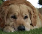 Doença de Lyme – Como identificar nos cães