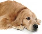 Como identificar e tratar a obstrução urinária em cães e gatos