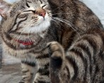 Gato também precisa de anti-pulgas?