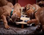 4 Tipos de Alimentação para Cachorros à Base de Rações