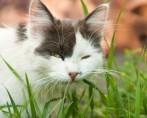 Grama para Gatos - Diversão e saúde