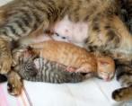 Gestação de Gatas - Do início ao nascimento dos filhotes