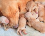 Caixa Maternidade para Cadelas - Cuidados com o parto