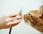 Diabetes em Gatos - Como diagnosticar e de que forma tratar
