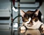 FIV Aids Felina - Conheça os estágios da doença e previna seu pet