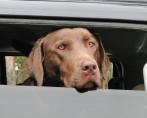 Cachorro no Carro - Dicas de cuidados e segurança