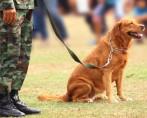 Adestramento de cães militares – Os incríveis cães do exército