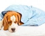 Hepatite Infecciosa Canina – Como identificar e tratar