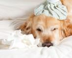 Cão resfriado – O que fazer com meu cachorro resfriado?