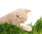Como plantar catnip em casa?