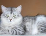 Saiba tudo sobre a castração de gatas
