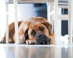 Cachorro chorando – Saiba por que isso acontece e como evitar