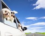Cinto de segurança para animais - Protegendo seu pet