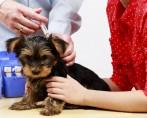Sarna Negra – Entenda as particularidades desta doença canina