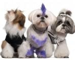 Piercing para cães? Acessório vira febre em pet shops