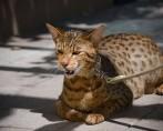 Felinos selvagens: quais são os 10 maiores felinos do mundo