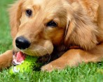Cães de quintal: rotina e saúde dos guardiões da casa