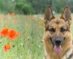 Cães de guarda: conheça as raças ideais de cães para sítios