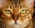 Animais felinos: conheça as raças selvagens dessa espécie