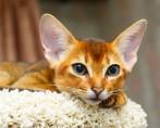 10 raças felinas mais famosas e populares do mundo