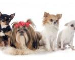 Veja as 10 raças ideais de cães para apartamentos pequenos