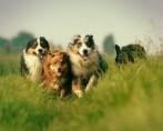 Conheça as raças e as habilidades dos cães pastores