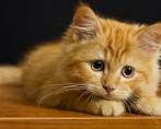 Tratamento antipulgas para felinos