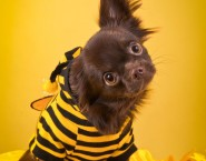 Yellow Pet