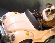 Taxi Dog Montanha