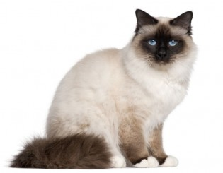 Cute Birman Cat Pictures