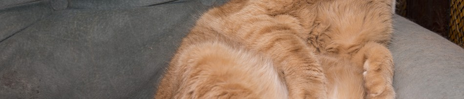 Obesidade em Gatos - Seu gato está gordo?